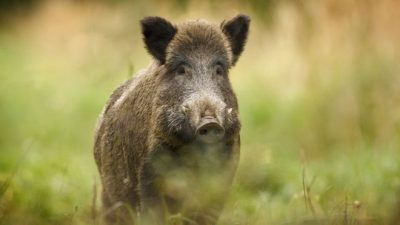 Signals of dead wild boars found in the territory of Voden - Iri Hisar